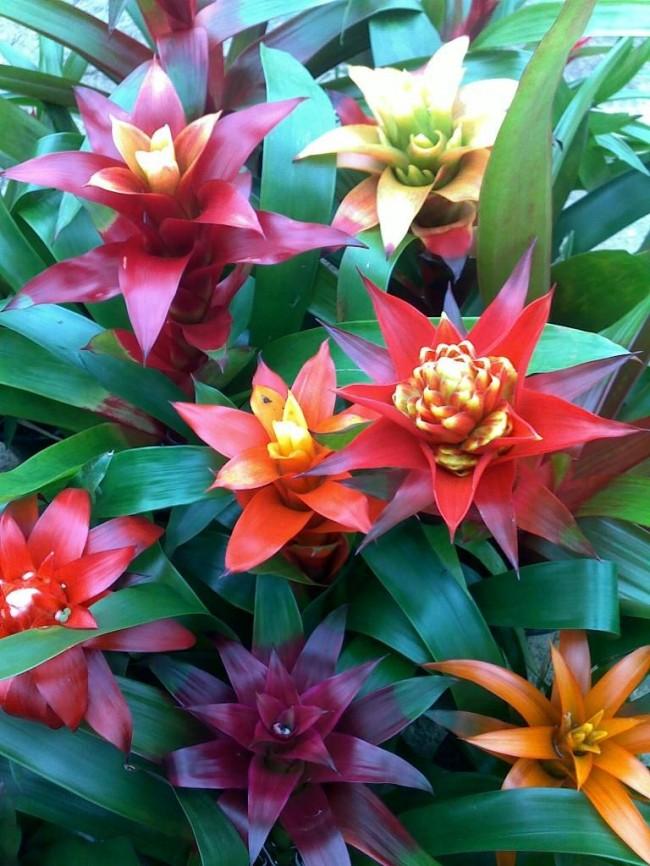 Разноцветные гузмании вместе представляют собой отличную композицию