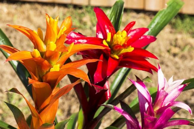 Гузмании с разноцветными прицветниками