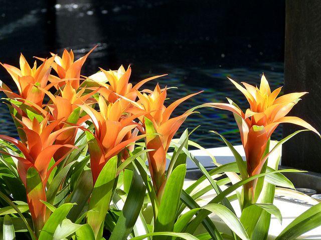 Гузмания со светло-оранжевым прицветником