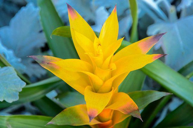 Гузмания с ярко-желтым прицветником