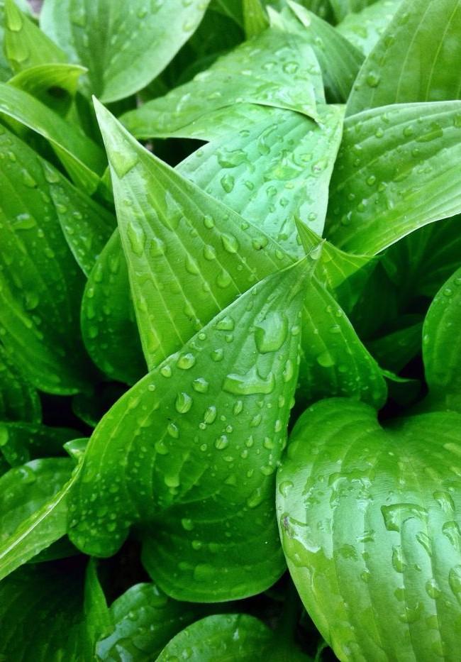 Хоста вздутая имеет яркие заостренные листья