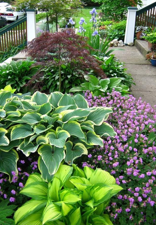 Крупные листья хосты имеют огромное разнообразие расцветок