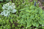 Фото 17 Цветок хоста (57 фото): красота и аромат в вашем саду