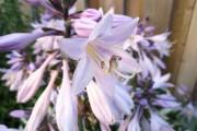 Фото 9 Цветок хоста (57 фото): красота и аромат в вашем саду