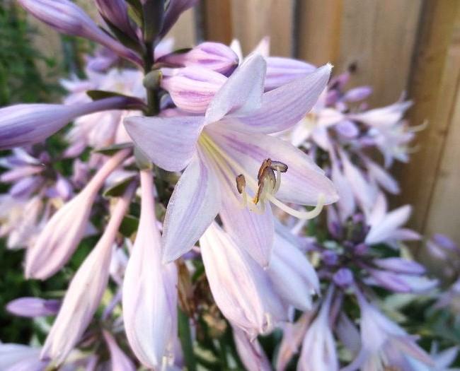 Хоста вздутая - прекрасное растение для одиночных и групповых посадок по газону
