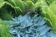Фото 10 Цветок хоста (57 фото): красота и аромат в вашем саду