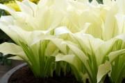 Фото 6 Цветок хоста (57 фото): красота и аромат в вашем саду