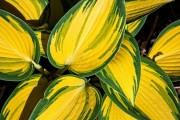 Фото 3 Цветок хоста (57 фото): красота и аромат в вашем саду