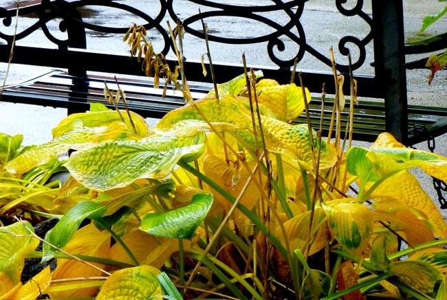 Желто-зеленая хоста на городских газонах смотрится великолепно