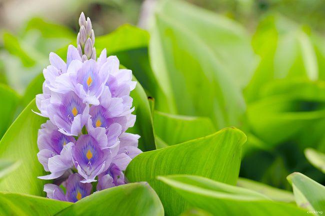Водяной гиацинт - красивое растение с нежно фиолетовыми цветками