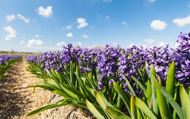 Благодаря богатой гамме красок, а также легкому уходу гиацинты относятся к самым популярным садовым растениям