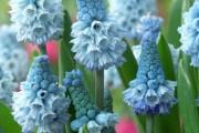 Фото 10 Гиацинт (65+ фото): посадка и уход в домашних условиях — советы опытных садоводов