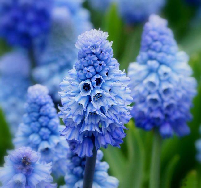 Небесно голубой гиацинт Виноградный