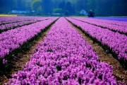 Фото 14 Гиацинт (65+ фото): посадка и уход в домашних условиях — советы опытных садоводов