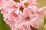 Фото 16 Гиацинт (65+ фото): посадка и уход в домашних условиях — советы опытных садоводов