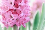 Фото 18 Гиацинт (65+ фото): посадка и уход в домашних условиях — советы опытных садоводов