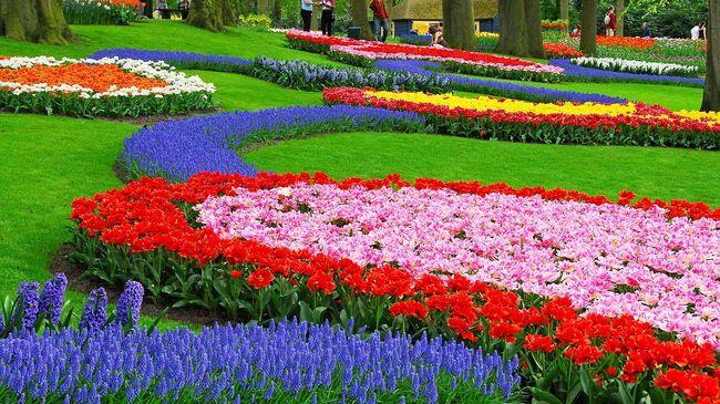 Гиацинт великолепно смотрится с другими цветами
