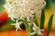 Фото 20 Гиацинт (65+ фото): посадка и уход в домашних условиях — советы опытных садоводов