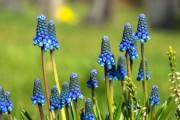 Фото 19 Гиацинт (65+ фото): посадка и уход в домашних условиях — советы опытных садоводов
