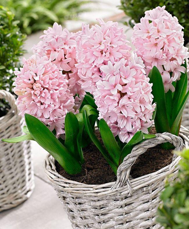 Очаровательный весенний первоцвет - гиацинт