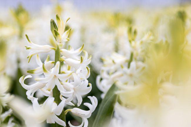 Нежно белые цветы гиацинта
