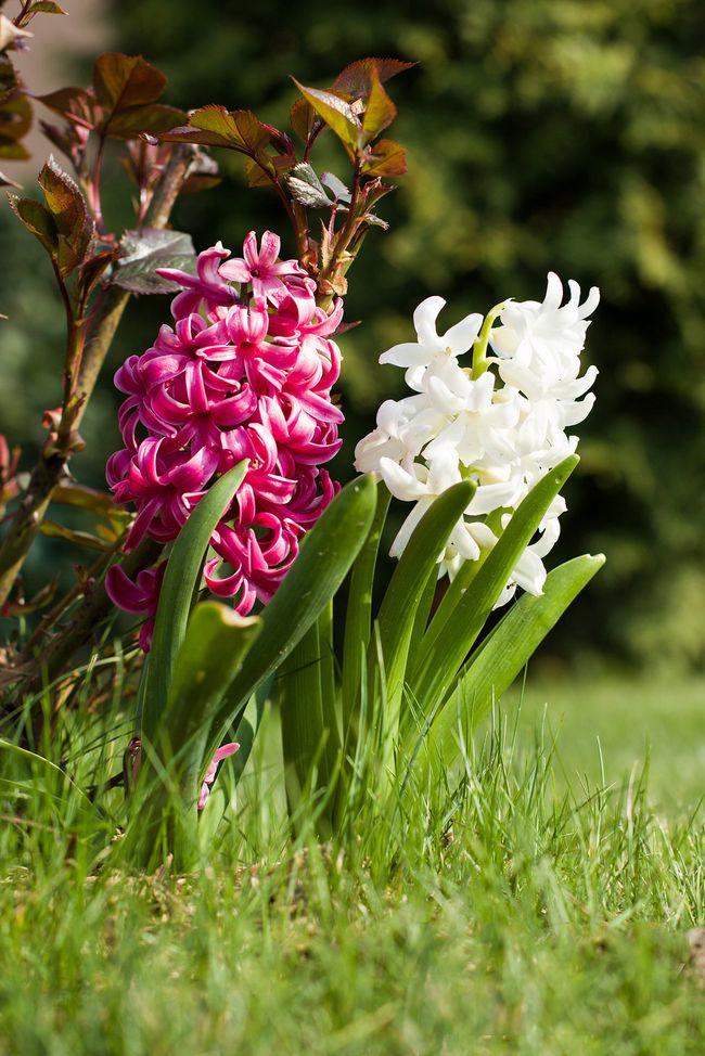 Гиацинт - одно из самых популярных растений для домашней выгонки