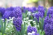 Фото 26 Гиацинт (65+ фото): посадка и уход в домашних условиях — советы опытных садоводов