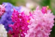 Фото 8 Гиацинт (65+ фото): посадка и уход в домашних условиях — советы опытных садоводов