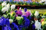 Фото 2 Гиацинт (65+ фото): посадка и уход в домашних условиях — советы опытных садоводов