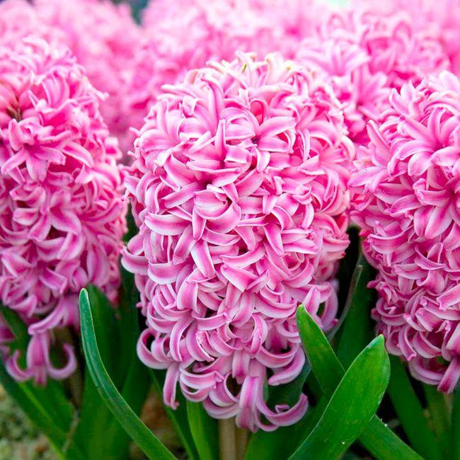 Восхитительный розовый гиацинт Пинк Перпл