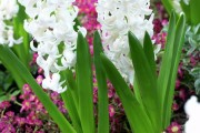 Фото 4 Гиацинт (65+ фото): посадка и уход в домашних условиях — советы опытных садоводов