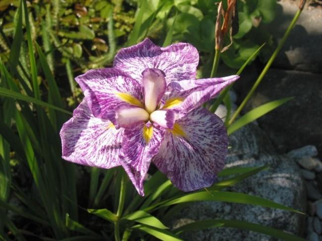 Бело-фиолетовый ирис Сольвейг