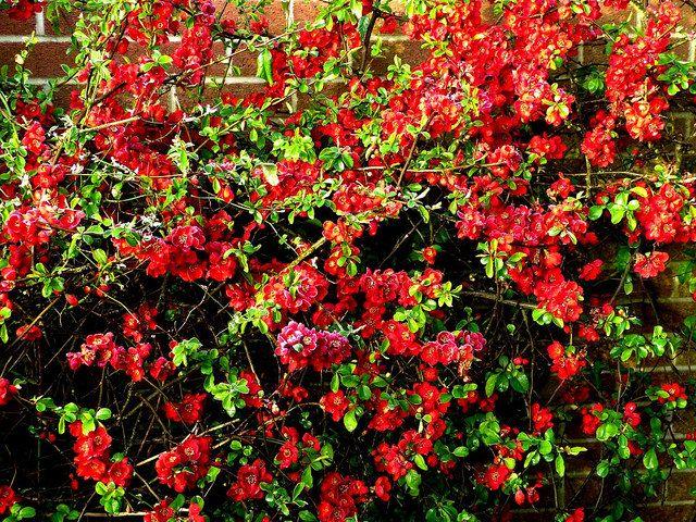 Айва не только выполняет функции зеленого насаждения и украшения участка, но и выступает своеобразной защитой, образуя колючую изгородь