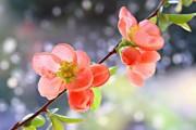 Фото 2 Айва японская (75 фото): уход, выращивание и размножение