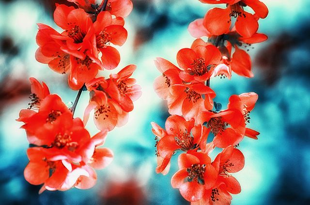 Яркий оранжевый цвет айвы чудесно смотрится на фоне неба