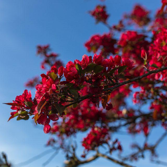Прекрасные ветви цветущей айвы, стремящиеся ввысь