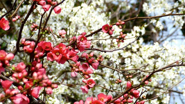 Красный цвет айвы на белом фоне - необычайно красивая симфония
