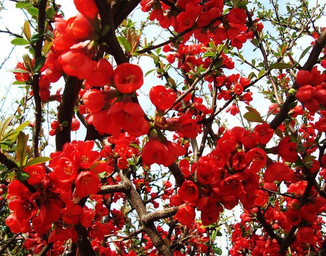 Правильный уход обеспечит пышное цветение кустарника