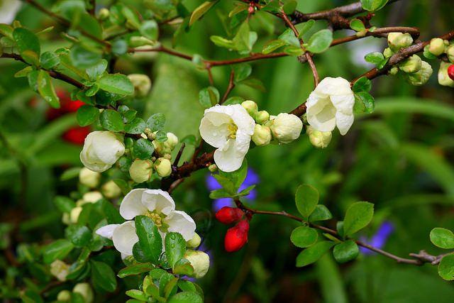 Нежность и красота - прекрасная белая цветущая айва