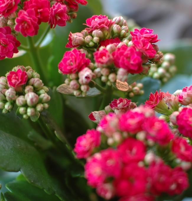При слишком сильной жаре каланхоэ чувствует себя плохо, начинает поглощать слишком много жидкости, однако усваивать столько растение не может, поэтому могут возникнуть различные заболевания
