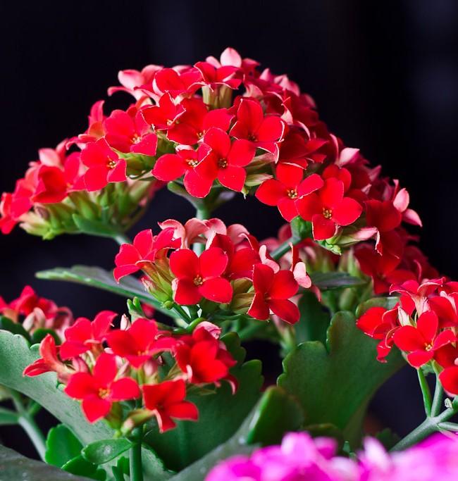 Для комфорной жизни вашего любимого каланхоэ необходимо, чтобы воздух был как можно суше, особенно осенью и зимой