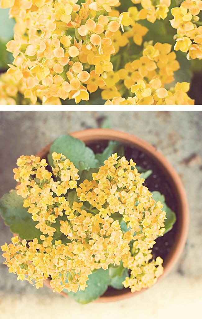 Желтый куст каланхоэ смотрится особенно красиво