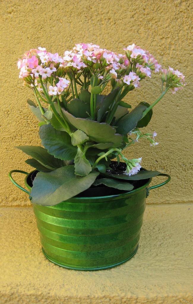 В период роста каланхоэ следует подкармливать растение удобрениями, однако, в очень небольших дозах. Не забудьте пощипывать побеги, чтобы сформировался бы красивый куст