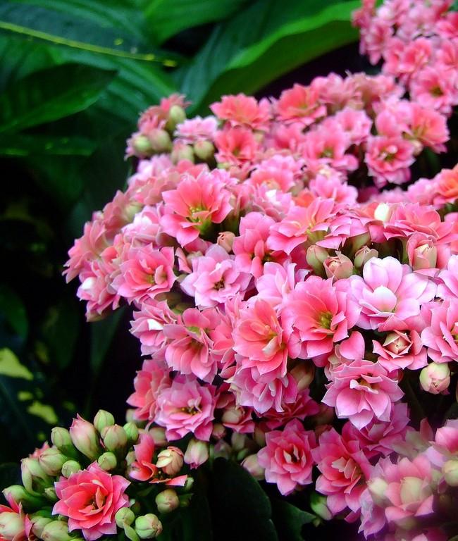 Каланхоэ — одно из немногих растений, которое включает сразу две важнейшие функции — декоративную и лекарственную