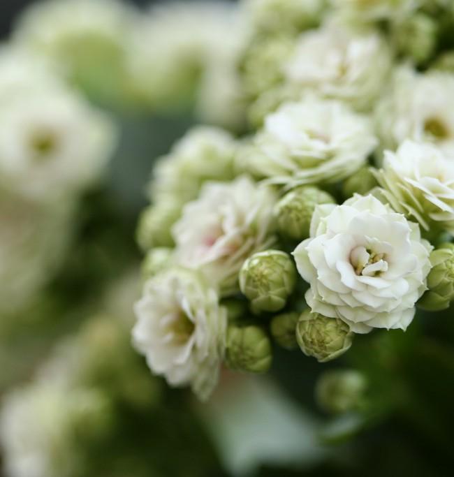 """Нежные """"пушистые"""" цветы каланхоэ подарят эстетическое наслаждение"""