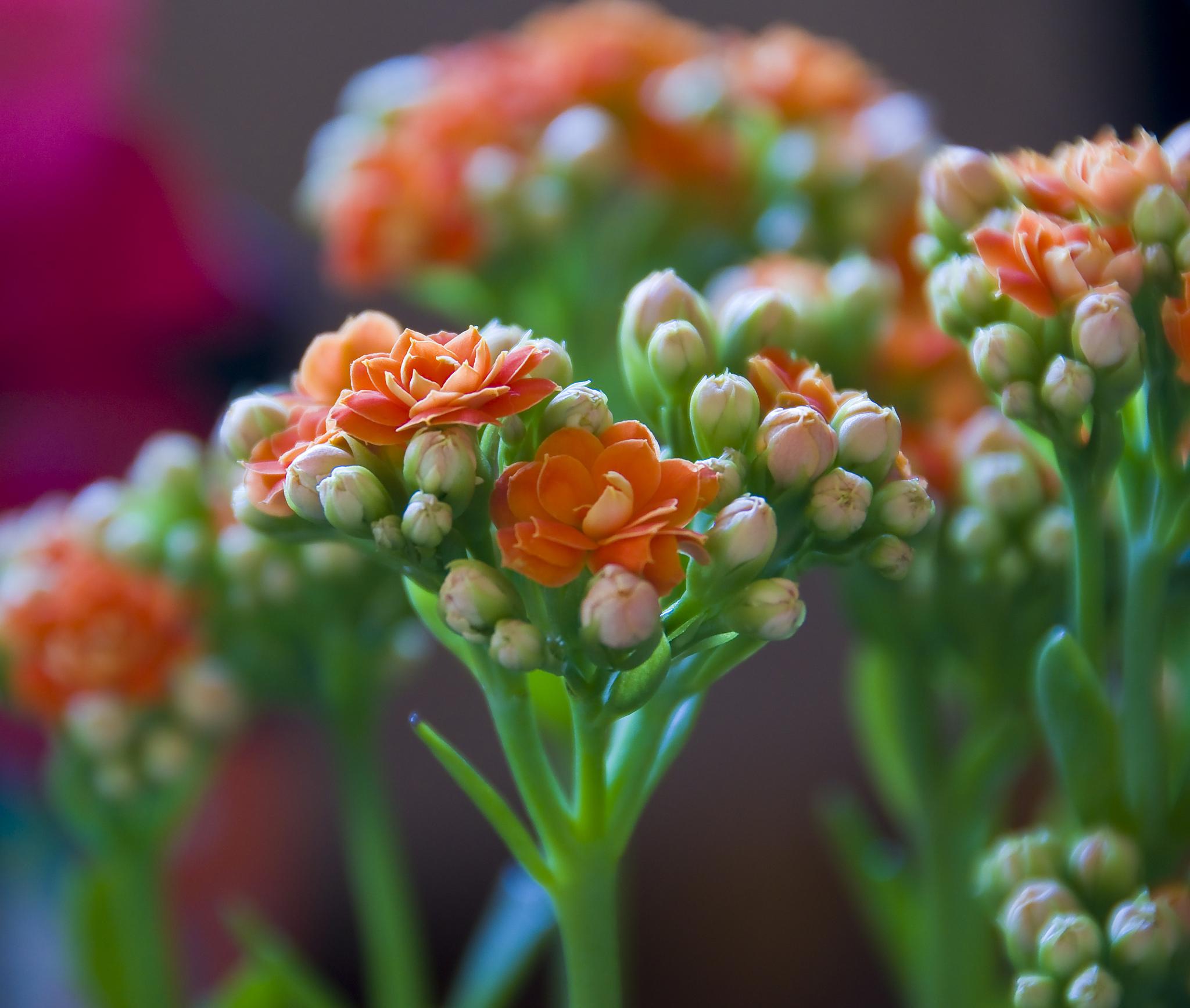 Хрупкие соцветия каланхоэ очень красивые благодаря своему яркому цвету