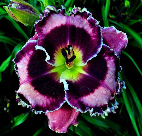 Глубокие тона окраса и бахрома на лепестках делают этот цветок неотразимым
