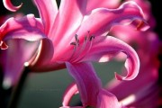 Фото 5 Лилейники в ландшафтном дизайне (45 фото): неприхотливые красавцы