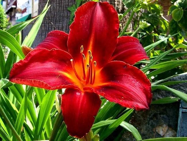 Красные цветы станут роскошным, ярким акцентом на приусадебном участке