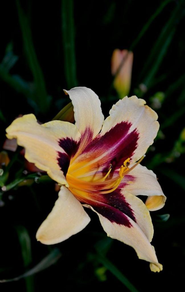 Изысканный цветок контрастного окраса